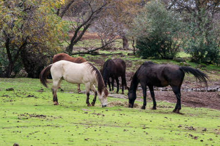 Four horses, one light chestnut, one buckskin and two dark chestnut with their heads down, eating grass in a field in Northern California Stock Photo