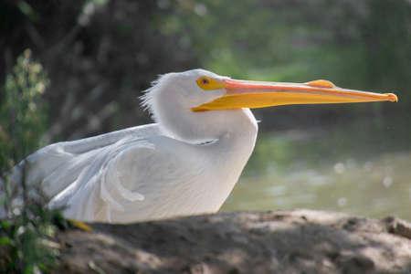 nesting: Selective focus on white american pelican (Pelecanus erythrorhynchos) in profile, resting