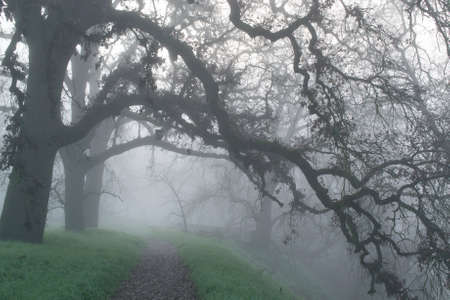 unclear: A foggy path in the woods of Northern California, in the winter, displaying leafless oak trees and green grass, and unclear way ahead- uncertainty concept