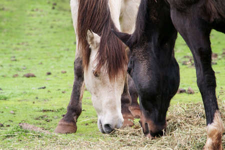 red bluff: Closeup on the heads of two horses, a buckskin and a black saddle horse, sharing a meal of grass