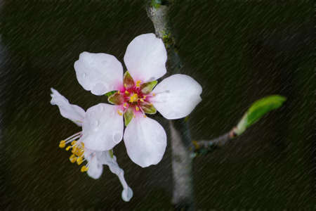 Selective focus on almond blossom on dark green background with rain effect applied to it