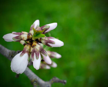Selective focus on almond blossom buds against dark green background, signaling the beginning of the spring. Imagens
