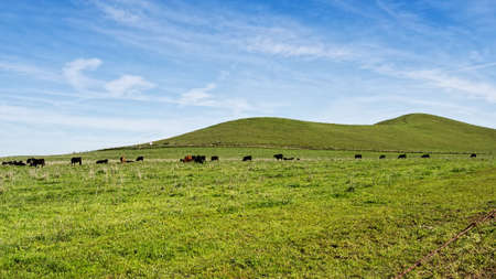 Panoramic view of a pasture at the Rush Ranch Open Space, Fairfield, California, USA, featuring the green, invasive grass that only lasts a few weeks in the winter through early spring, and the cattle grazing in it.