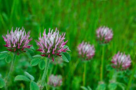 Closeup on white-topped clover, Trifolium variegatum, a wildflower, in nature in California, against green background