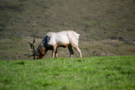 Male Tule Elk, Cervus canadensis nannodes, at a distance, looking at the camera, on the coast of California, USA, Marin County