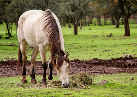 Front view of a male buckskin American saddle horse eating grass at a field in Northern California, with the ears pointing forward