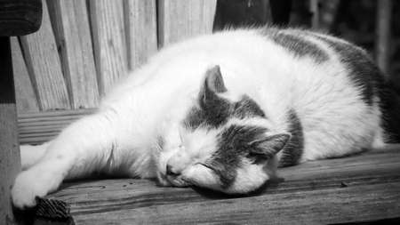 Grey and white stripped domestic cat laying down sleeping with its eyes closed on a wooden chair- black and white rendering