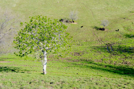 California horse-chestnut (Aesculus californica) tree in nature in California, in the beginning of the spring, displaying lush, green leaves, with cows grazing in the background pasture Stock Photo