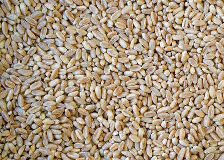 Close-up op gezonde, gehulde, geparelde, rauwe Farro tarwe zaden - voedsel textuur of achtergrond Stockfoto