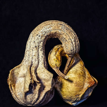 Portrait of two old, bird shaped gourds with long necks and beaks, embracing, on black background, suggesting affection