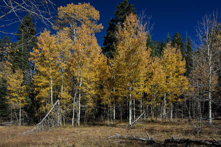 Yellow leaves of Aspen trees in Nevada in the Fall on the trail from Spooner Lake to Marlette Lake on a blue-sky day
