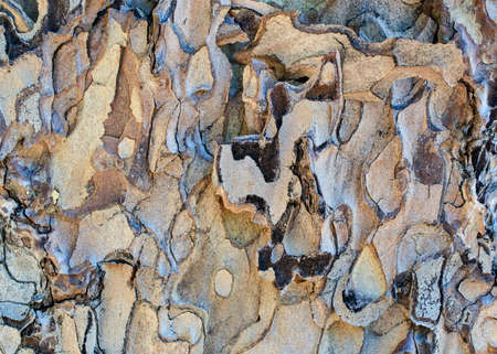 The bark of a pine tree, Pinus torreyana - texture or background Stok Fotoğraf