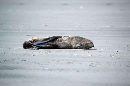 Fur seal pup (Arctocephalus ) sleeping on the sand of a beach in Oregon, USA