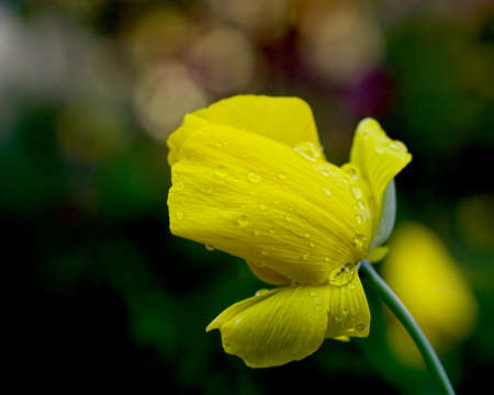Mexican Tulip poppy, Hunnemannia fumariifolia,  yellow flower in nature against dark green background, viewed from the side after a rain Stock Photo