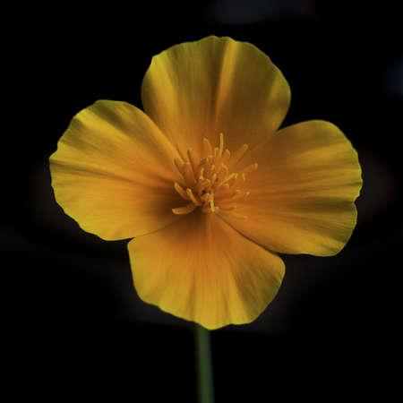 California poppy, Eschscholzia californica , orange flower against black background