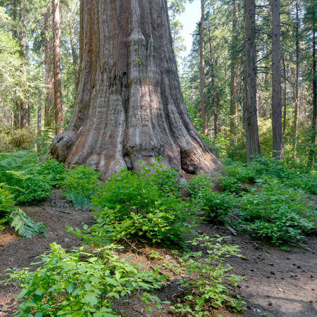 Base of the trunk of a giant tree, Sequoia sempervirens, at Calaveras Big Trees State Park, surrounded by other pine trees for comparison and dogwood