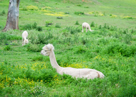 Three shaved Alpacas (Vicugna pacos) laying down on the grass, or eating, surrounded by flowers Stock Photo