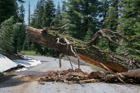 Fallen Pine Tree obstructing the road in the end of a snowy winter in the Sierra Nevada of California, USA