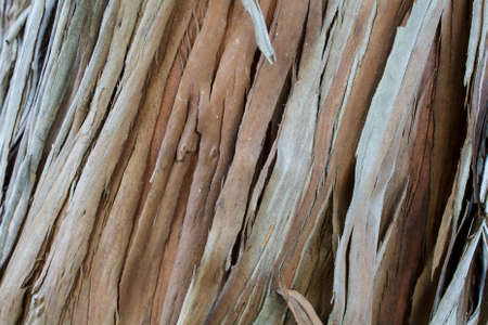 The bark of a young coastal redwood, Sequoia sempervirens- texture or background Stock Photo