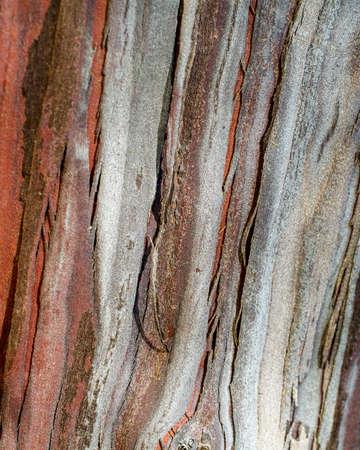 The bark of a Santa Cruz Island Ironwood, Lyonothamnus floribundus ssp. aspleniifolius- texture or background, horizontal composition