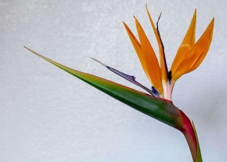 Colorful Strelitzia against white background