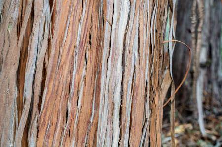 The bark of a Santa Cruz Island Ironwood, Lyonothamnus floribundus ssp. aspleniifolius- texture or background