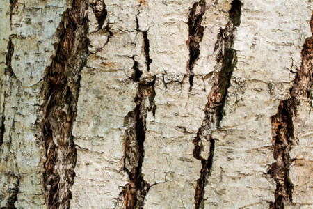 Closeup on the bark of a Chinese mahogany - Toona sinensis- texture or background 免版税图像