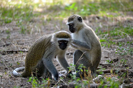 A couple of Vervet Monkeys, Chlorocebus pygerythrus, grooming in nature in Africa Stock Photo