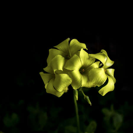 Selective focus on yellow Oxalis flowers on dark black background