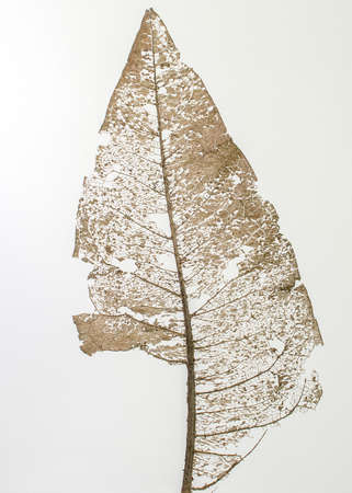 Skelettblatt von Wyethia mollis auf weißem Hintergrund - natürliche abstrakte Kunst