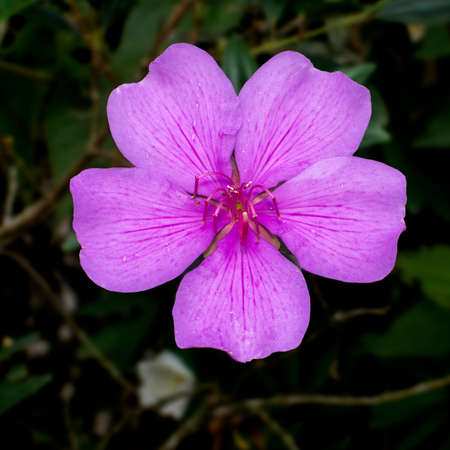 A light pink flower of Tibouchina mutabilis (Manacá-da-serra), in nature, viewed from in frot. This flower blooms white and is intense pink when it matures.