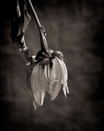 Sad, dead flower in black and white