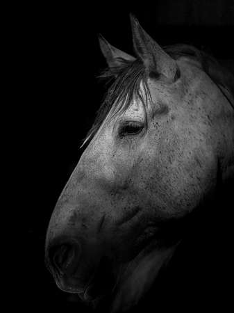 Portrait of gray draft horse against black background side view of face Reklamní fotografie
