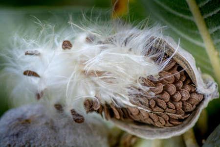 Close-up on milkweed seed pod selective focus on seeds