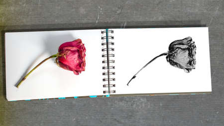 Closeup on withered red rose on white spiral sketch book, and its sketch on the next page, on grey table � learning to draw concept