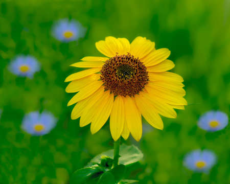 Selective focus of on bright yellow sunflower in a green field surrounded by blue flowers - ideal for a happy greeting card