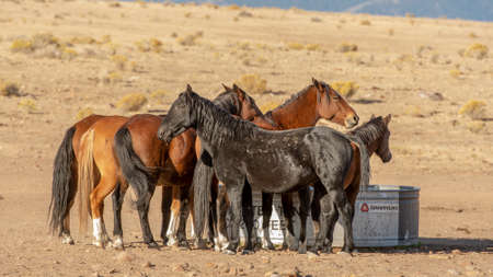 Black wild mustang watching out for his mares in a desert in Nevada, USA, while they drink water