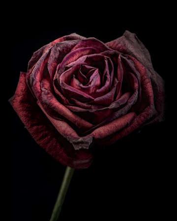 Rose fanée mourante rappelant la tristesse et la solitude de la vieillesse et l'amour fané en noir et blanc