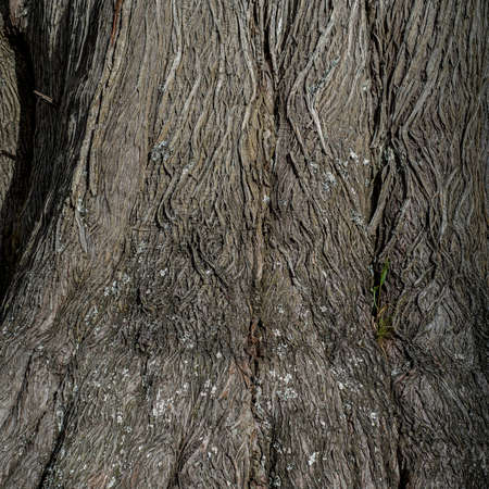 The bark of a cypress tree near the base, top view- texture or background