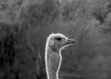 Ostrich head giving the photographer an evil eye in black and white, centered, with lots of copy space
