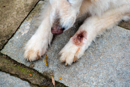 Close-up and selective focus of paw of white German Shephardinfected with botfly Stock fotó
