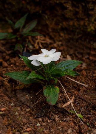 Una flor blanca de Tibouchina mutabilis (Manacá-da-serra), en la naturaleza, en el suelo, pequeño arbusto. Esta flor florece de color blanco y es de color rosa intenso cuando madura, con espacio de copia