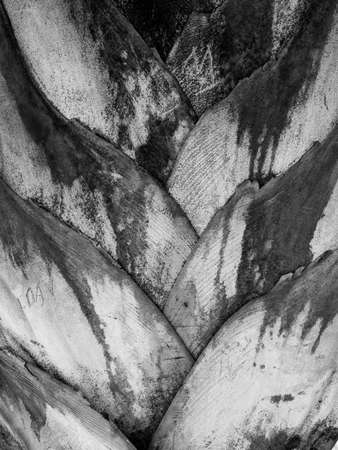 The base of the leaves of palm tree in black and white - texture or background copyspace Stock fotó