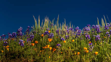 Purple lupine, orange California Poppy and green grass against the blue sky, with space for copy - wildflowers composition Stock Photo