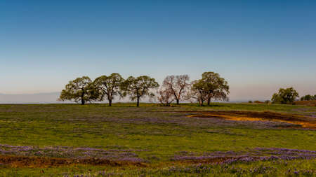 Landscape at North Table Mountain Ecological Preserve, Oroville, California, USA , on a sunny spring day, featuring blooming purple and yellow wildlfowers and oak trees on a cloudless, blue sky day 免版税图像