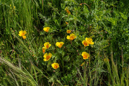 Eschscholzia californica, California poppy, growing in Point Reyes. This rare wildflower covers the ground in some areas in the Spring