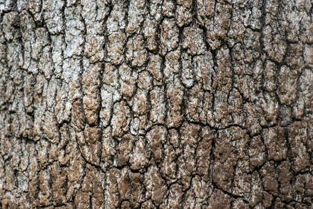 The bark of a Valley Oak, Quercus californicus- texture or background Stock fotó