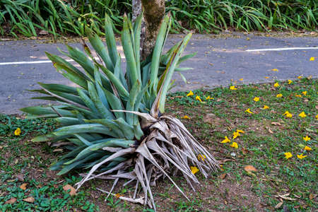 The side of a large uprooted tropical bromeliad probably in the genus Alcantarea by a bicycle path 写真素材