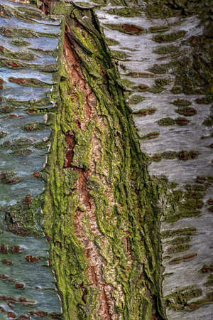 The bark  the Japanese Cherry tree, Prunus serrulata, with an old wound covered in green moss- texture or background