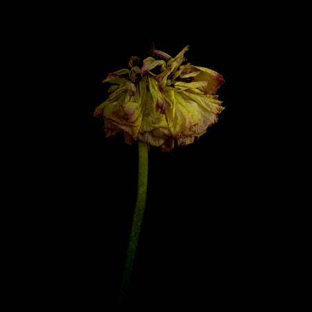 Abstract still life displaying dead, dried, dry pink cameilia flower head against black background- passage of time and death concepts Stok Fotoğraf